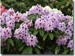 Rhododendron Humbold